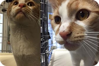 Domestic Shorthair Cat for adoption in Cliffside Park, New Jersey - SUNSHINE