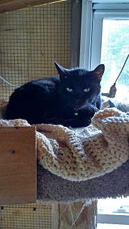 Domestic Shorthair Cat for adoption in Benton, Pennsylvania - Shadow