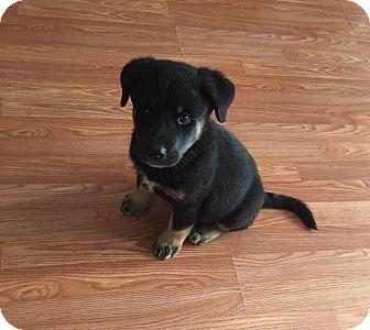 Rottweiler/Newfoundland Mix Puppy for adoption in Edmonton, Alberta - Cafferty