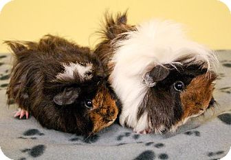 Guinea Pig for adoption in Kingston, Ontario - Charm, Cherry, and Brie