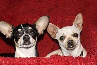 Chihuahua Mix Dog for adoption in Scottsdale, Arizona - Bella