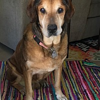 Labrador Retriever/Hound (Unknown Type) Mix Dog for adoption in Phoenix, Arizona - Morrie