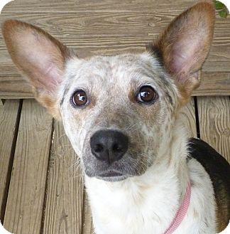Beagle/Blue Heeler Mix Dog for adoption in Glastonbury, Connecticut - CLEMENTINE