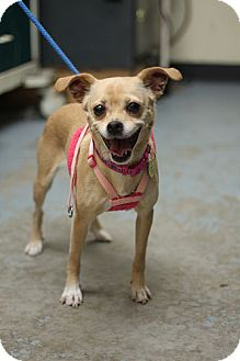 Chihuahua Mix Dog for adoption in Mechanicsburg, Pennsylvania - Mercedes