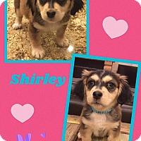 Adopt A Pet :: Shirley - Scottsdale, AZ