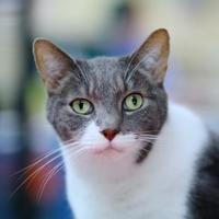 Adopt A Pet :: Razer - Charleston, SC