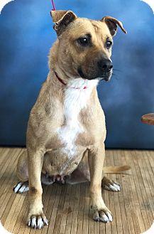 Shepherd (Unknown Type) Mix Dog for adoption in Garland, Texas - Lexie