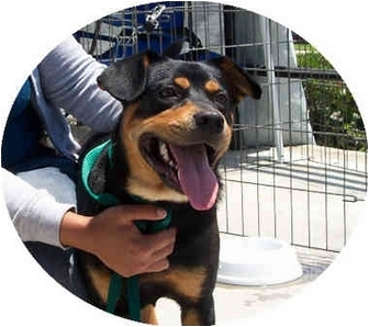 Rottweiler/Beagle Mix Dog for adoption in West Los Angeles, California - Ziggy