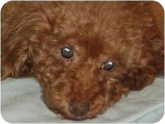 Poodle (Miniature) Dog for adoption in Melbourne, Florida - FEBBY