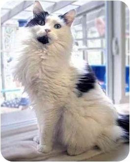 Domestic Longhair Cat for adoption in Maple Ridge, British Columbia - Cheerio - VIDEOS