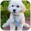 Photo 1 - Bichon Frise/Poodle (Toy or Tea Cup) Mix Puppy for adoption in La Costa, California - Rory