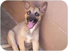Shepherd (Unknown Type) Mix Puppy for adoption in Gaffney, South Carolina - Topaz