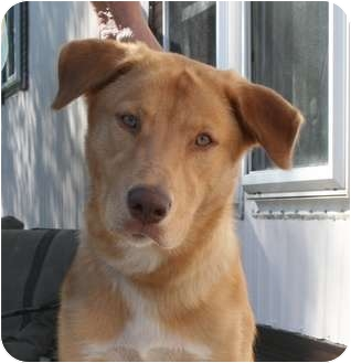 Labrador Retriever/Husky Mix Dog for adoption in Palatine, Illinois - Harley