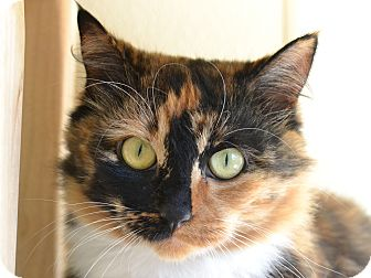 Domestic Shorthair Cat for adoption in San Clemente, California - NAPA