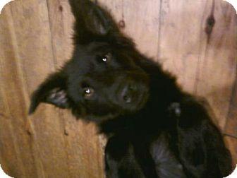 Shepherd (Unknown Type)/Labrador Retriever Mix Puppy for adoption in Hollis, Maine - Charity