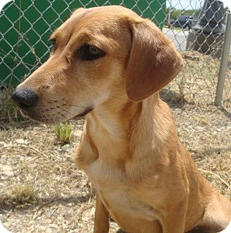 Retriever (Unknown Type) Mix Dog for adoption in Kirby, Texas - Brooke