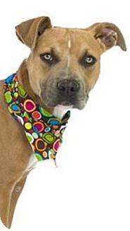 American Pit Bull Terrier Dog for adoption in Orlando, Florida - Harp