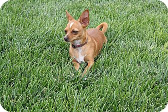 Chihuahua Dog for adoption in California City, California - Barkley