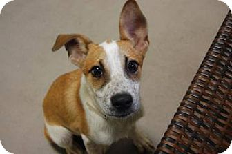 Australian Cattle Dog Mix Dog for adoption in Lebanon, Connecticut - Monty