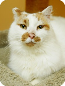 Domestic Mediumhair Cat for adoption in Medford, Massachusetts - Murray