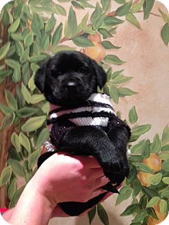Labrador Retriever Mix Puppy for adoption in Cincinnati, Ohio - Sydney