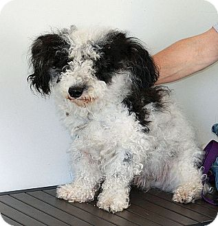 Bichon Frise/Miniature Poodle Mix Dog for adoption in Berkeley, California - Ralph