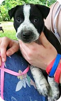 Labrador Retriever/Australian Cattle Dog Mix Puppy for adoption in Snohomish, Washington - Kipling, Coolest Cutie Baby!