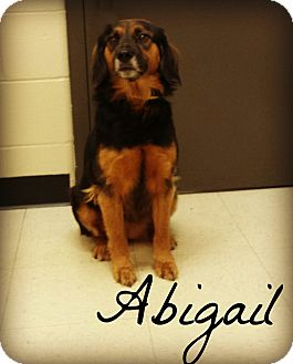 Spaniel (Unknown Type)/Beagle Mix Dog for adoption in Defiance, Ohio - Abigail