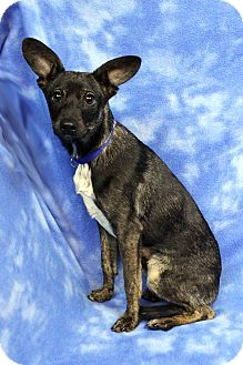 Dachshund/Shepherd (Unknown Type) Mix Puppy for adoption in Westminster, Colorado - Palmer