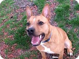 Cattle Dog/Boxer Mix Dog for adoption in Elgin, Illinois - Harley