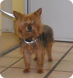 Yorkie, Yorkshire Terrier Dog for adoption in Newburgh, Indiana - Bucky- Pure !