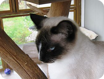 Siamese Cat for adoption in Maynardville, Tennessee - Simone