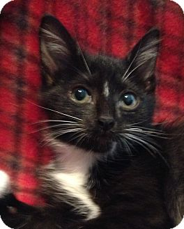 Domestic Shorthair Kitten for adoption in Houston, Texas - Lola