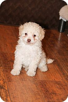 Poodle (Miniature) Mix Puppy for adoption in New Oxford, Pennsylvania - Howie