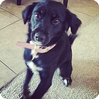 Shepherd (Unknown Type)/Cocker Spaniel Mix Dog for adoption in Mission Viejo, California - ROXIE