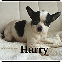 Adopt A Pet :: Harry - Indian Trail, NC