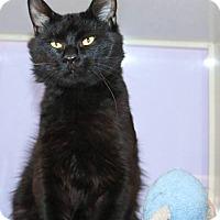 Adopt A Pet :: Little Bear - Ann Arbor, MI
