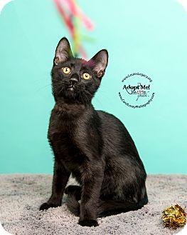 Domestic Shorthair Cat for adoption in Cincinnati, Ohio - Baloo