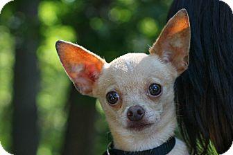Chihuahua Mix Dog for adoption in Edwardsville, Illinois - raisin