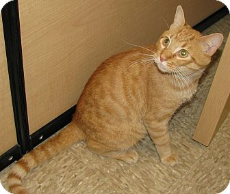 Domestic Shorthair Cat for adoption in Tulsa, Oklahoma - Benny