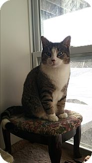 Domestic Shorthair Cat for adoption in Cedar Springs, Michigan - Marshall