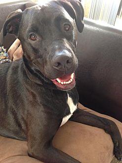 Labrador Retriever Mix Dog for adoption in Rancho Santa Margarita, California - ZZ-Sherlock *courtesy post