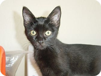 Domestic Shorthair Kitten for adoption in Cushing, Oklahoma - FRIDAY adopted