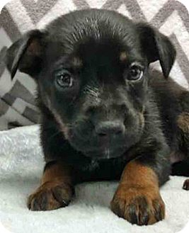Shepherd (Unknown Type) Mix Puppy for adoption in Gahanna, Ohio - ADOPTED!!!   Mitchell