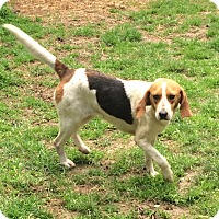 Beagle Mix Dog for adoption in Dumfries, Virginia - Hannah