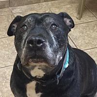 Pit Bull Terrier Mix Dog for adoption in Joplin, Missouri - Folsom 4419