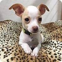 Adopt A Pet :: Bop - Vacaville, CA
