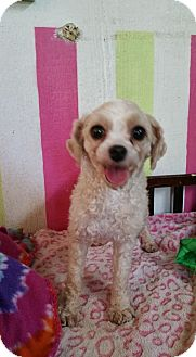 Tea Cup Poodle Dog for adoption in Crump, Tennessee - Emily