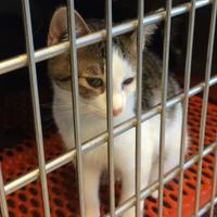Adopt A Pet :: Pretzel - Savannah, TN
