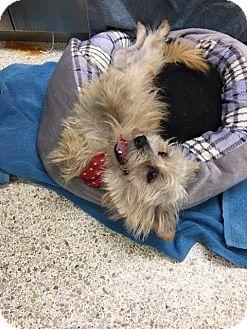 Cairn Terrier/Yorkie, Yorkshire Terrier Mix Dog for adoption in University Park, Illinois - Dayton